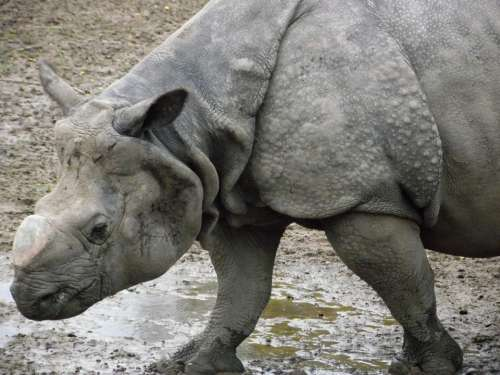 Rhino Rhinoceros Mammal Zoo Wildlife