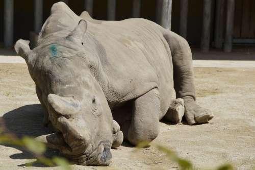 Rhino Pachyderm Lying Zoo Zoo Animal