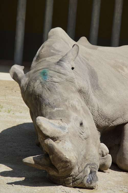 Rhino Concerns Horns Pachyderm Zoo Zoo Animal
