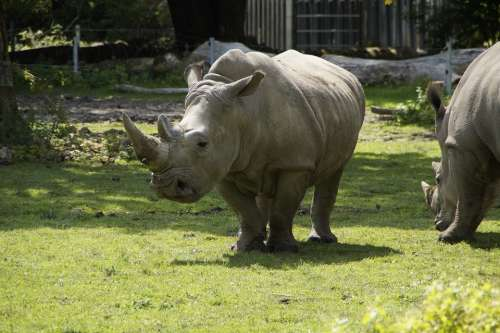 Rhino Meadow Zoo Pachyderm Creature Safari Mammal