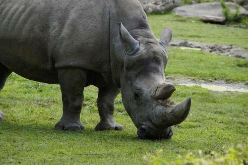 Rhino Close Up Horn Horns Head Pachyderm