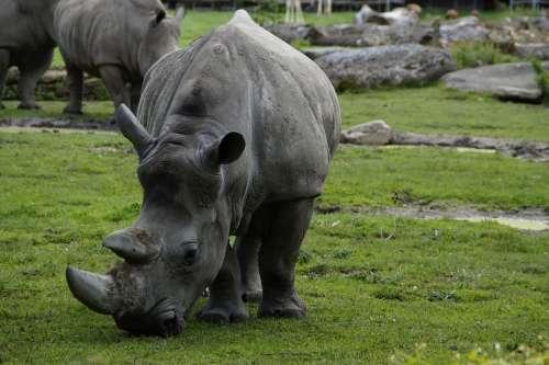 Rhino Close Up Pachyderm Animal Portrait Zoo