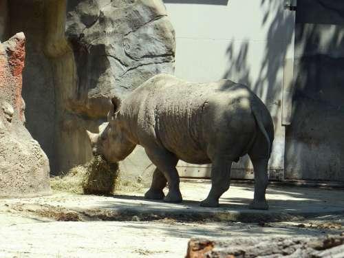 Rhino Eating Zoo Animal Nature Hungry
