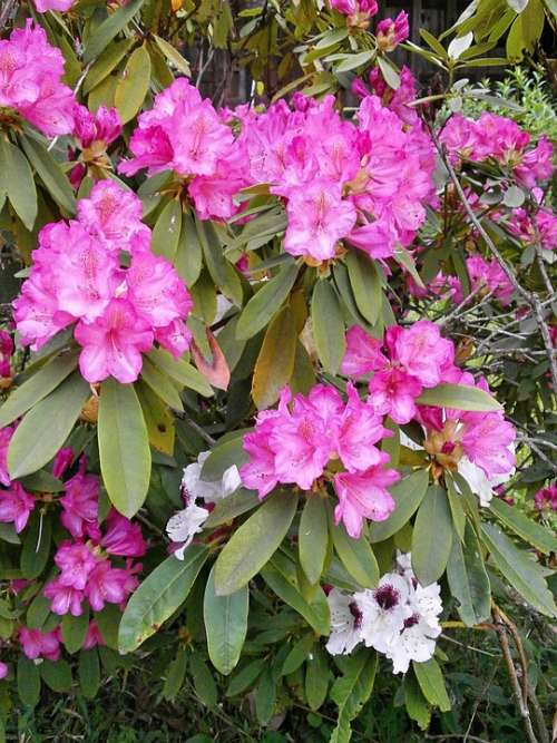 Rhododendron Rhododendrons Ericaceae Spring Flowers