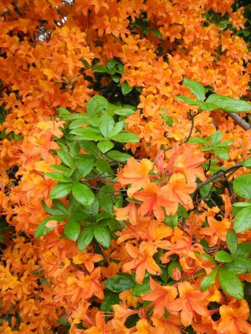 Rhododendron Orange Flowers Nature Spring