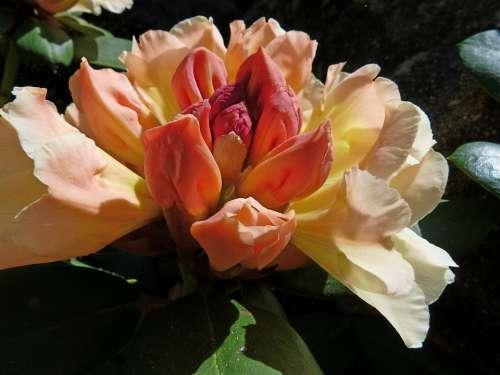 Rhododendron Flowers Garden Ornamentation Shrub
