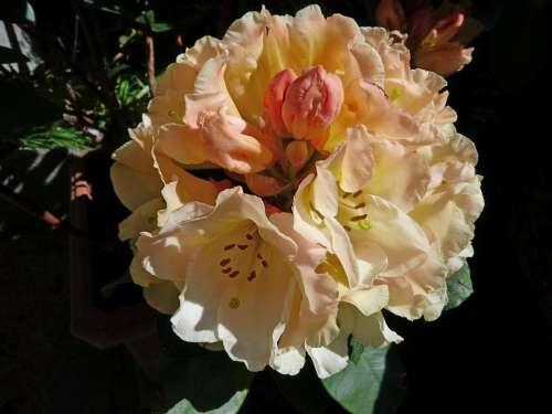 Rhododendron Flowers Nature Garden Ornamentation