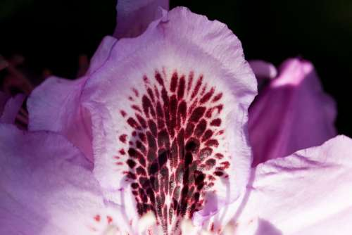 Rhododendron Single Flower Blossom Bloom Genus
