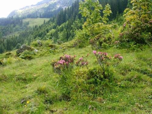 Rhododendron Flowers Alpine Walk Nature Reserve