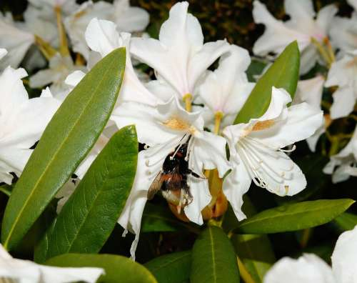 Rhododendrons Bush Flowers White Tender
