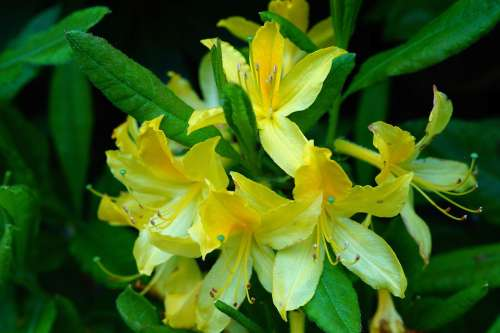 Rhododendrons Bush Flowers Yellow Tender Close Up
