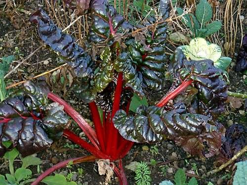Rhubarb Rheum Rhabarbarum Exotic Plant