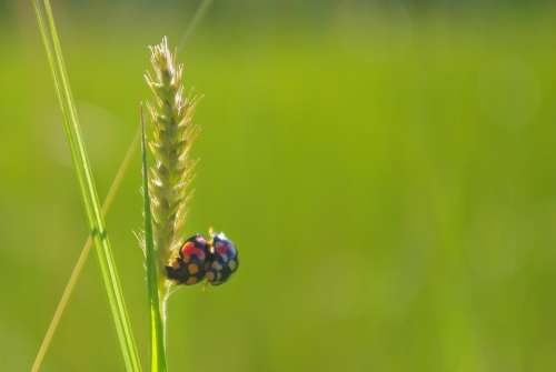 Rice Ladybug Mating Close-Up Green Insect
