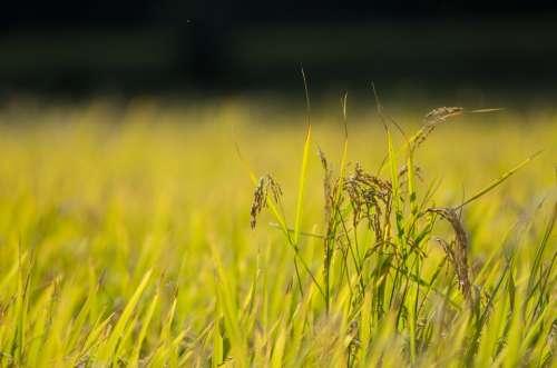 Rice Abundance Autumn