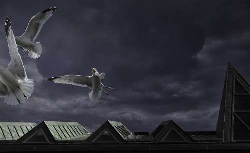 Ring-Billed Gull Seagull Musée De La Civilisation