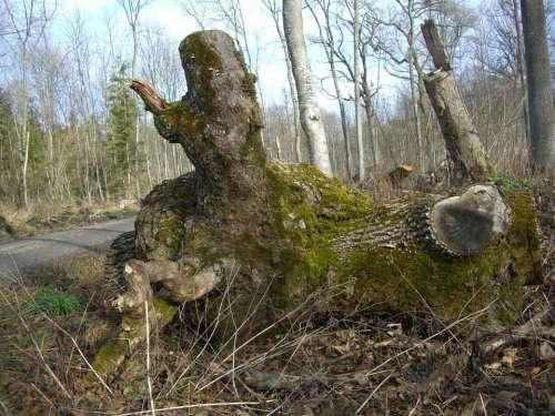 Riparian Zone Forest Path Log Butt Bemoost Beech