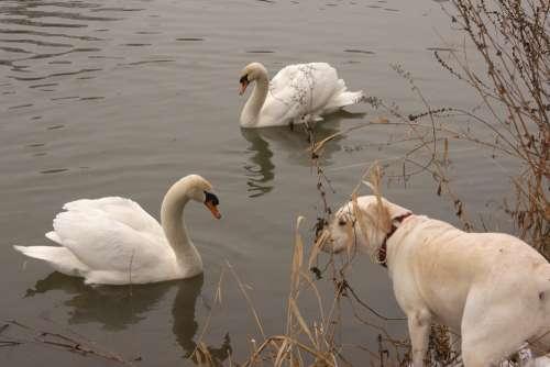 River Swan Dog Animals Water Encounter Labrador