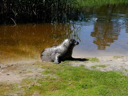 Robbe Seal Nature Sea Lion Lake Water