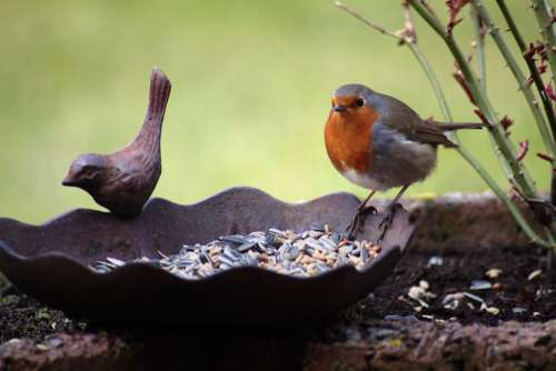 Robin Bird Bird Seed Bird Bath Animal Eat Peck