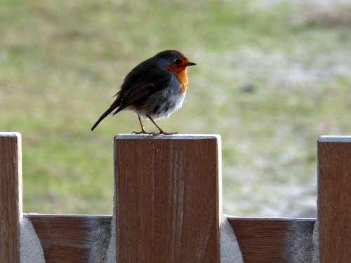 Robin Spring Bird Birds