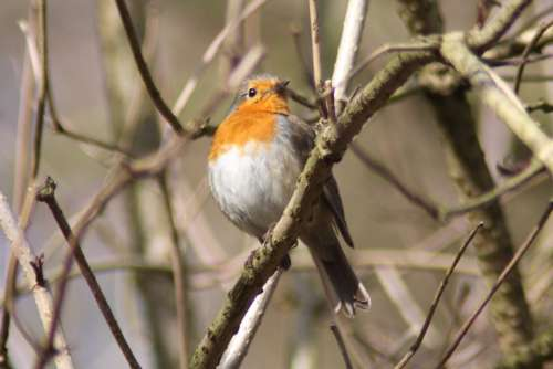 Robin Bird Animals Spring Species Songbird Nature