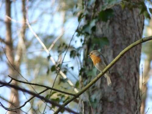 Robin Songbird Bird Animal Birdsong Forest