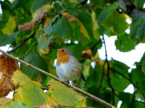 Robin Bird Tree Branch Branches Garden Nature
