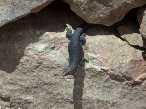 Rock Lizard Reptile Animal Nature Creature
