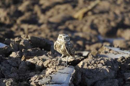 Rocks Perches Burrowing Owl Birds Animals Fauna