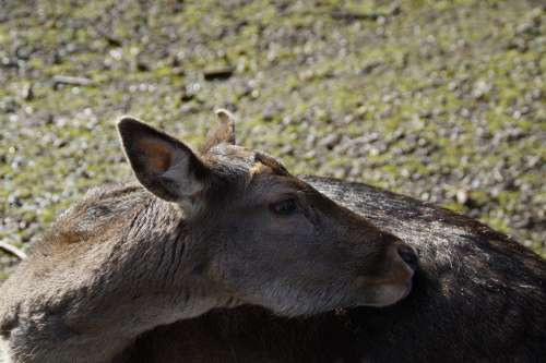 Roe Deer Ricke Animal Mammal Forest Deer Park