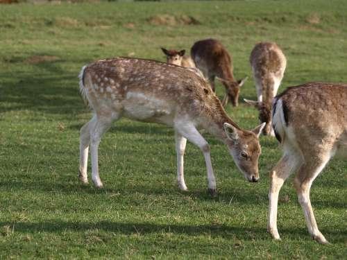 Roe Deer Nature Forest Scheu Mammal