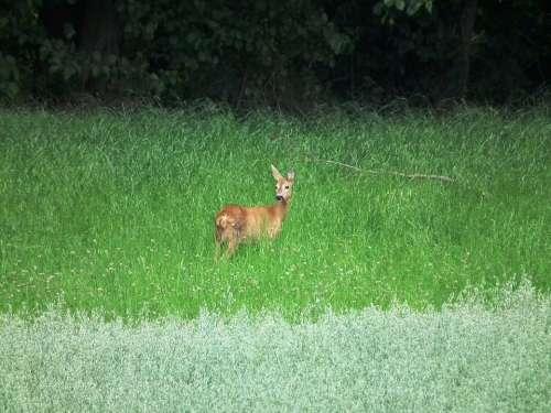 Roe Deer Meadow Forest Wild Scheu Green Red Deer