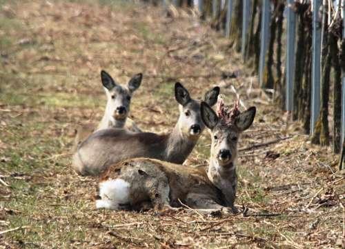 Roe Deer Vineyard Spring Furred Game Winter