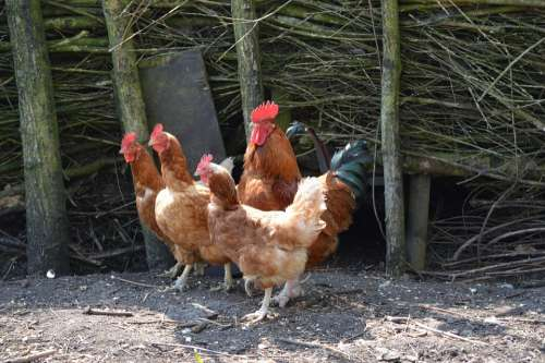 Rooster Chicken Chickens Poultry Farm Nature