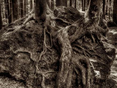Root Tree Root Druid Grove Forest National Park