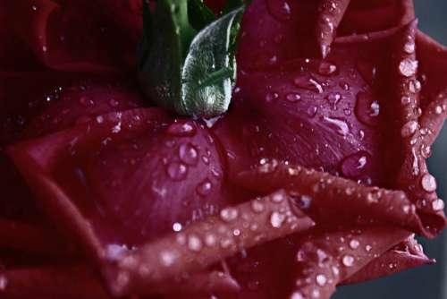 Rosa Rossa Flower Plant Drops Wet Water