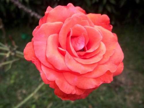 Rosa Petals Beauty Flower Garden Beautiful Nature