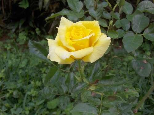 Rosa Beauty Life Petals Plant Flower Garden