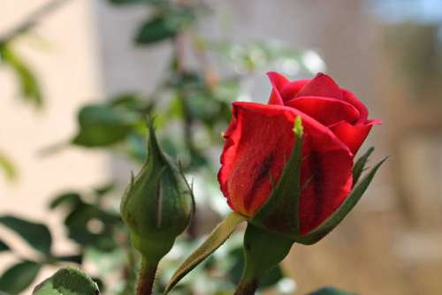 Rosa Red Rose Petals Garden Red Beautiful Warmth