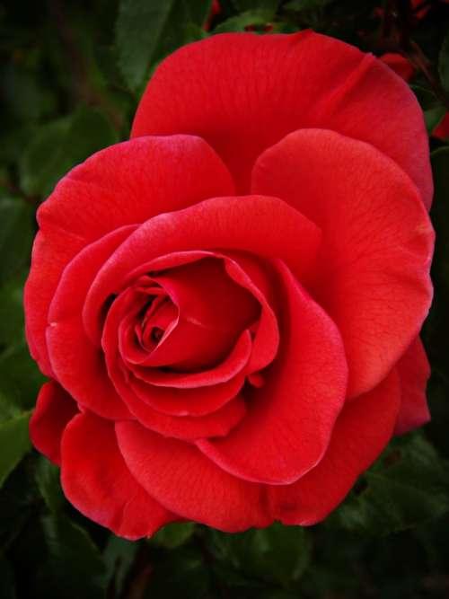 Rosa Red Rose Beauty Petals Red Beautiful Nature