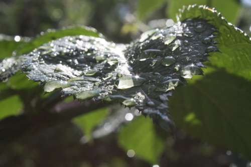 Rosa Drops Light Leaf Transparent Green