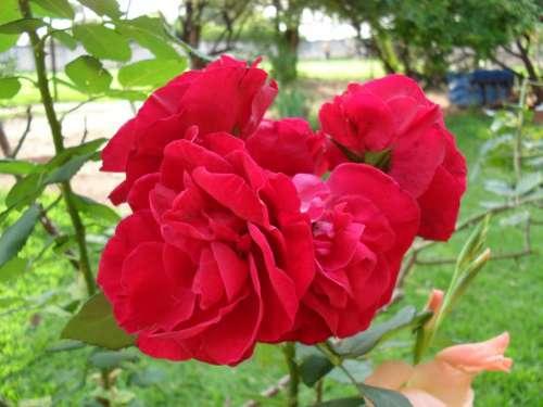Rosa Flower Red Flowers Rose Bush Garden
