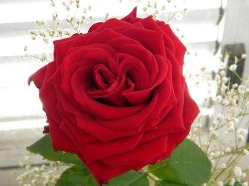 Rosa Roses Flower