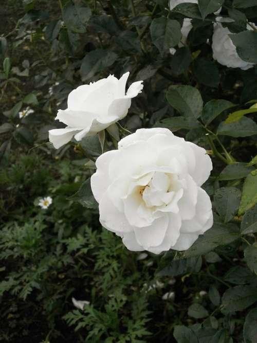 Rose White Flowers Rose Garden