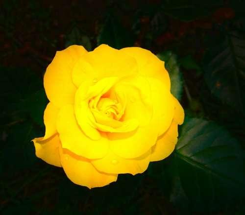 Rose Flower Plant Yellow Bloom Petal