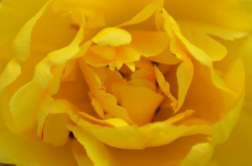 Rose Yellow Petals Spur Rose Bloom Fragrant