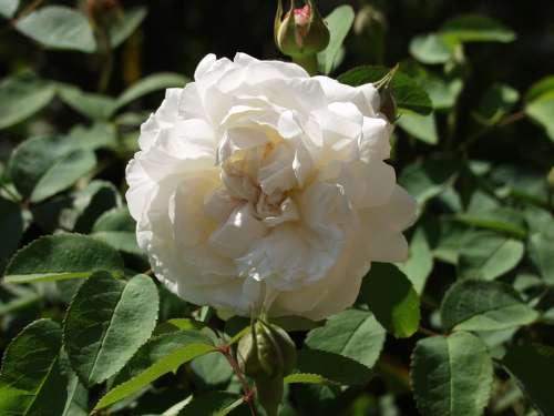 Rose Blossom Bloom White Bloom Plant Prickly