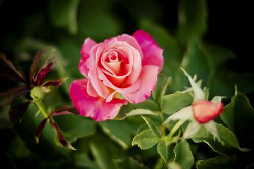 Rose Nature Roses Flowers Red Pink Beauty