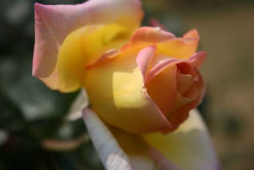 Rose Pinky-Yellow Opening Bloom Bud Petals Soft