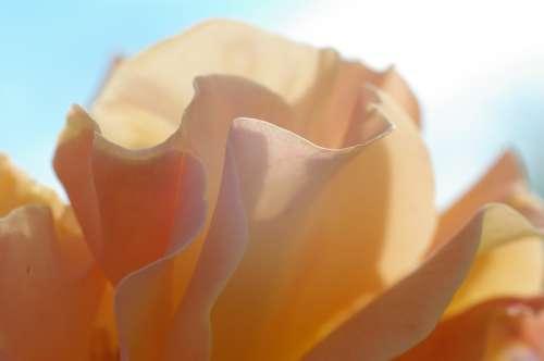 Rose Pink Blossom Bloom Petals Plant Nature Sky